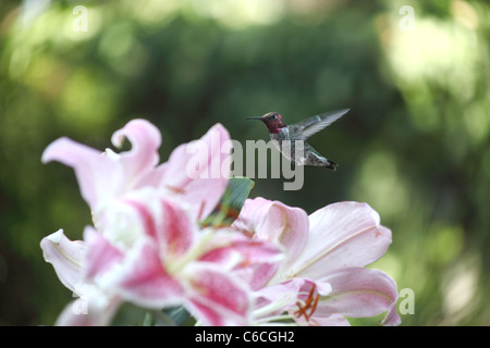 a ruby-throated hummingbird hovers over pink Asiatic lilies - Stock Photo