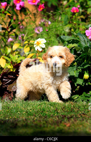 Puppy Cockapoo in garden - Stock Photo