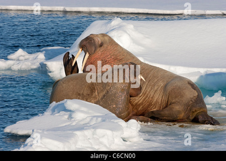 walrus (Odobenus rosmarus) male and female lying together on ice in Spitzbergen, Norway, the Arctic. - Stock Photo