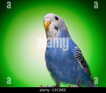 one blue budgies parrot on green background - Stock Photo