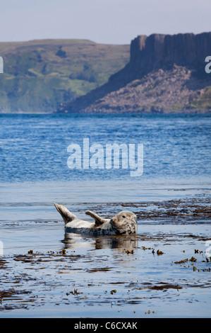 Seal on Rathlin Island, Northern Ireland. - Stock Photo