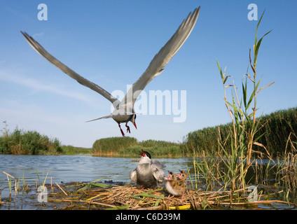 Whiskered tern, Chlidonias hybrida, feeding chicks at nest, Valencia, Spain - Stock Photo