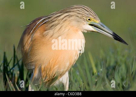 Squacco Heron, Ardeola ralloides, Valencia, Spain - Stock Photo