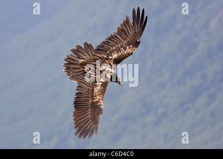 Lammergeier Gypaetus barbatus in flight at Ordesa and monte perdido national park, Huesca Province, Aragon, Pyrenees, - Stock Photo