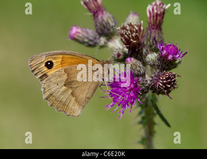MEADOW BROWN BUTTERFLY (Maniola jurtina) feeding at thistle, Susssex, UK. - Stock Photo
