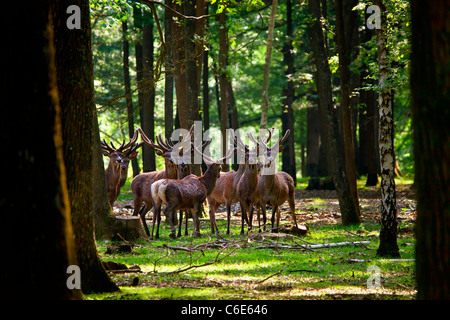 Wildlife in Forest of Rambouillet - Stock Photo
