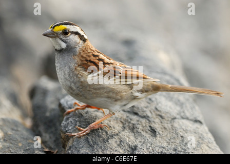 White-throated Sparrow (Zonotrichia albicollis) in Central Park, New York - Stock Photo