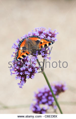 Aglais urticae. Small tortoiseshell butterfly on Verbena bonariensis flowers in an english garden. UK - Stock Photo