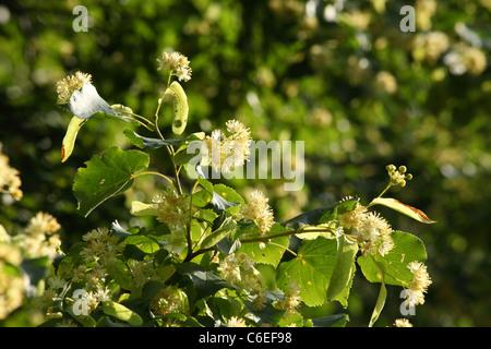 Small-leaved Lime tree (Tilia cordata) flowering. Location: Male Karpaty, Slovakia. - Stock Photo