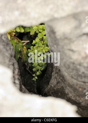 Maidenhair Fern, adiantum capillus-veneris growing in a Gryke on the Burren - Stock Photo