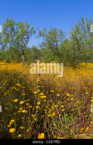 An olive grove with a yellow carpet of field marigolds in spring in the Algarve, Portugal - Stock Photo