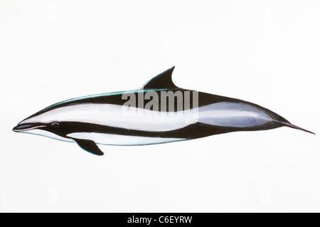 Fraser's Dolphin or Sarawak Dolphin Lagenodelphis hosei, Delphinidae - Stock Photo