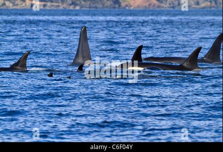 A pod of killer whales (Orcinus orca) swimming near the San Juan Islands, Washington. - Stock Photo