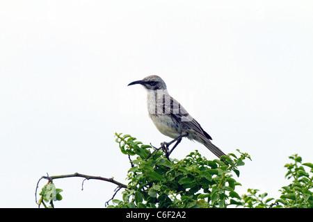 Espanola Mockingbird perched in tree, Punta Suarez, Espanola Island, Galapagos - Stock Photo