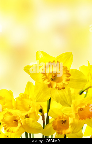 Yellow daffodils close-up over blurry background - Stock Photo