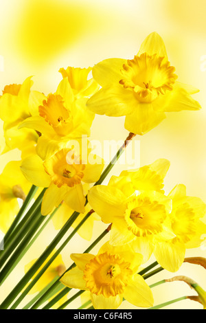 Yellow daffodils over blurry background - Stock Photo