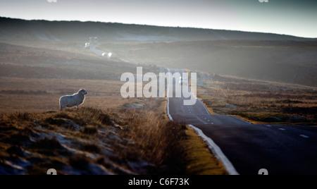 Sheep crossing a road near Cefn Bryn, Reynoldston on the Gower Peninsular, Wales. - Stock Photo