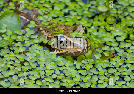 Common Frog Rana temporaria, adult in garden pond with duckweed. Dorset. - Stock Photo