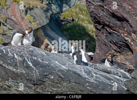 Macaroni Penguins (eudyptes chrysolophus), Cooper Bay, South Georgia - Stock Photo
