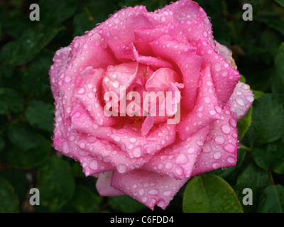 Closeup of pink rose flower with water drops, Loire valley, France - Stock Photo