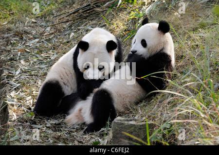 Two sub-adult Giant pandas (Ailuropoda melanoleuca),  Sichuan province, China