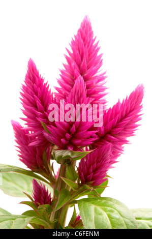 Celosia argentea (var Venezuela) on a white background - Stock Photo