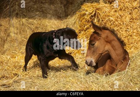 animal friendship : half breed dog and Rhinelander foal - Stock Photo