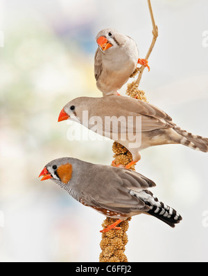 three Zebra Finches at millet - Stock Photo