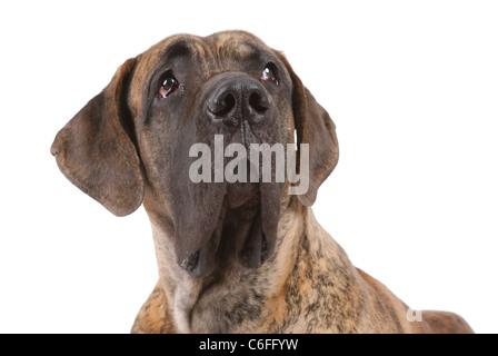 German mastiff on white - Stock Photo