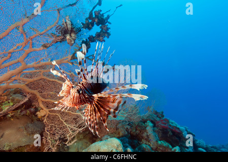 Two Lionfish swim around a Gorgonian fan coral with blue water behind - Stock Photo