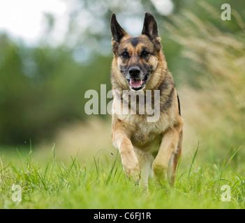 German Shepherd dog - running on meadow - Stock Photo