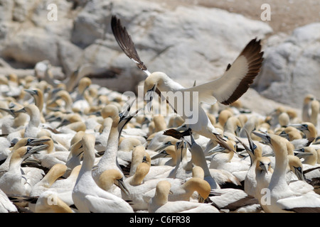 Cape gannet (Morus capensis) landing in colony, Lambert's Bay, South Africa - Stock Photo