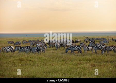 Plains Zebra on migration, sunset, Equus quagga, Serengeti, Tanzania, Africa - Stock Photo