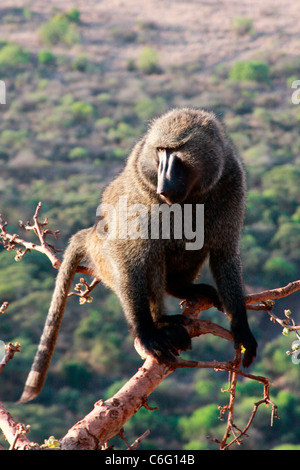 An Anubis baboon sits in the high branches of an acacia tree overlooking Nechisar National Park near  Arba Minch - Stock Photo