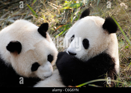 Two sub-adult Giant pandas (Ailuropoda melanoleuca),  Sichuan province, China - Stock Photo