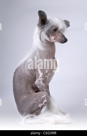 Sitting Chinese Crested Dog on gray - Stock Photo
