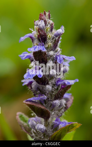 Common Bugle, Ajuga reptans in flower, rainy day; spring. - Stock Photo