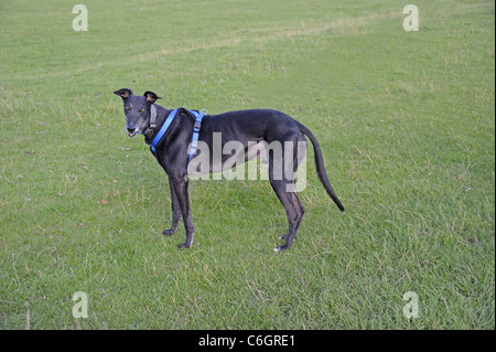 Greyhound dog standing on field - Stock Photo
