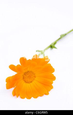 Calendula officinalis. Single pot marigold flower on a white background. - Stock Photo