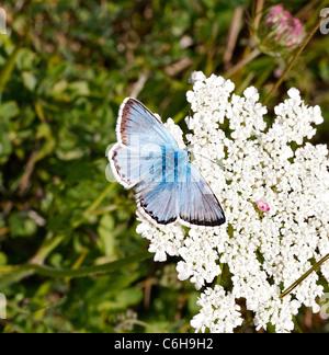 Chalkhill Blue butterfly Polyommatus coridon feeding on wild carrot flowers at Portland Bill Dorset UK - Stock Photo