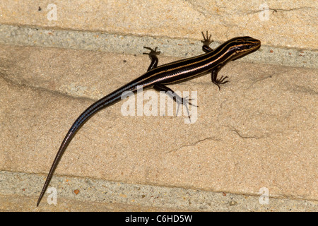 Five-lined Skink (Eumeces fasciatus) on wall. - Stock Photo