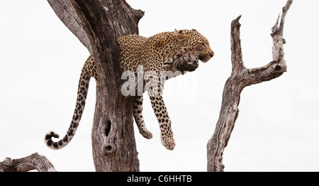 Leopard resting on a branch in a dead tree - Stock Photo