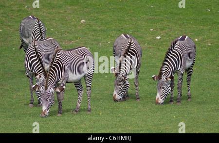 Group of Grevy's Zebra (equus grevyi) grazing - Stock Photo