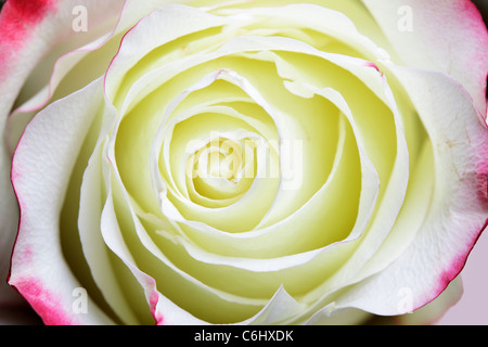 Rose bud super close-up. Shallow DOF!  - Stock Photo