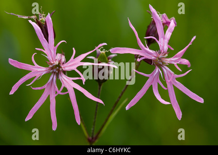 Ragged Robin, Lychnis flos-cuculi = Silene flos-cuculi in flower. Marshy grassland. - Stock Photo
