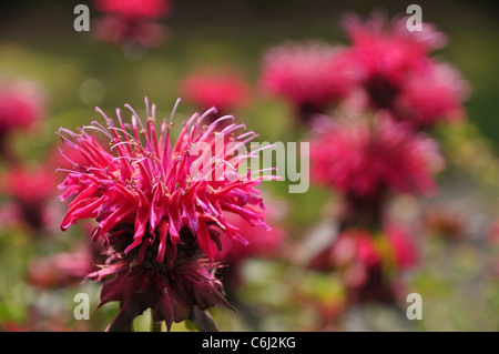 Beautiful red flower of the Monarda horsemint - Stock Photo
