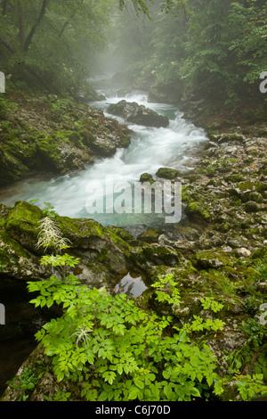 Buck's Beard or Goat's Beard Spiraea, Aruncus dioicus = A. sylvester, by the Radovna River, Vintgar Gorge, Slovenia - Stock Photo