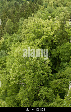 Large-leaved limes, Tilia platyphyllos in limestone cliff woodland, Bled, Julian Alps, Slovenia. - Stock Photo