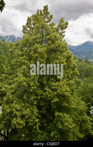 Large-leaved lime, Tilia platyphyllos in limestone cliff woodland, Bled, Julian Alps, Slovenia. - Stock Photo