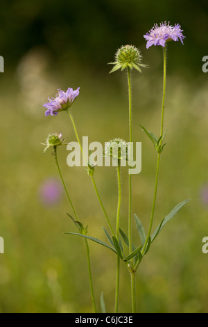 Field Scabious, Knautia arvensis in flower in grassland. - Stock Photo